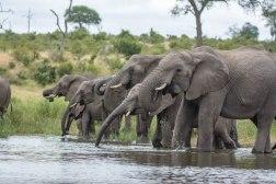 Elephants drinking. B Weir