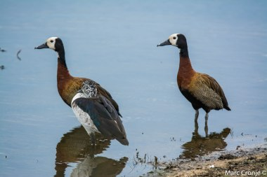 White faced whisteling duck and comb duck